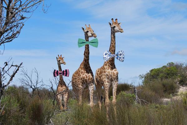 Des scientifiques se mettent d'accord sur la hauteur à laquelle les girafes doivent porter leur noeud papillon