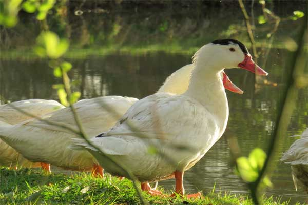 Des canards ont goûté au foie gras: «ok on comprend»